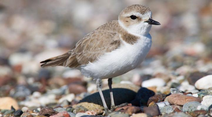 Vandenberg Closes Sections of Beach for Western Snowy Plover title=