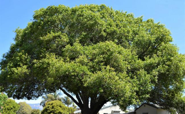 May Tree of the Month: Southern Live Oak title=