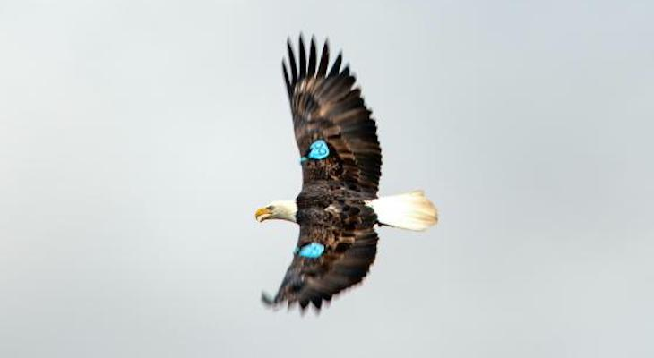 Bald Eagle #66 title=