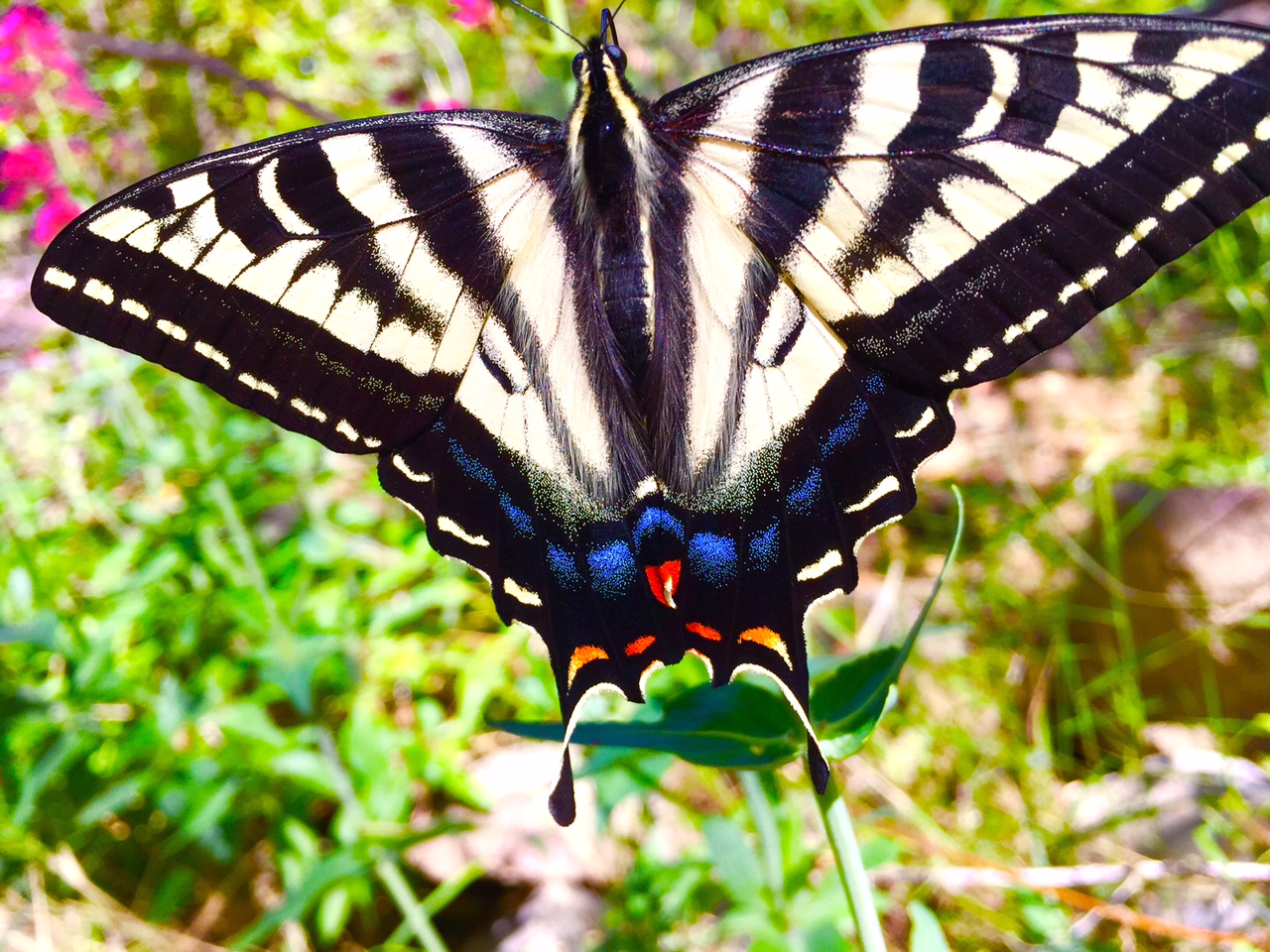 Swallowtail Colors title=