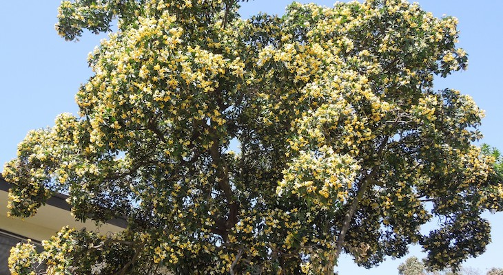 May Tree of the Month: Sweetshade Tree