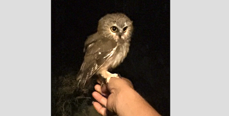 Tiny Owl Flies Into Santa Barbara Home title=