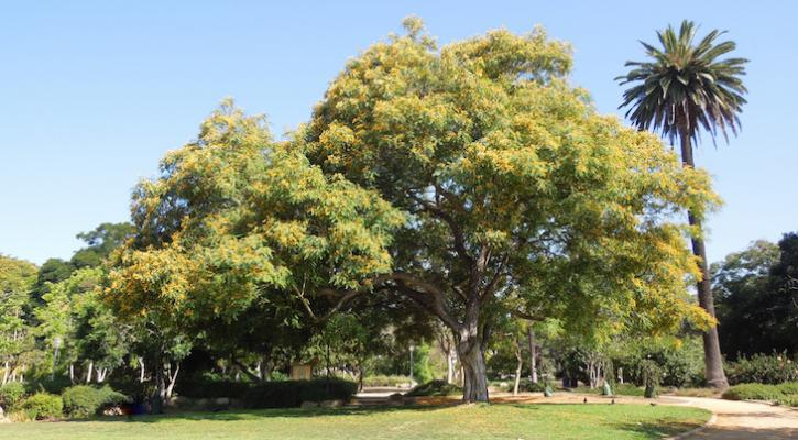 Tree-of-the-Month: Tipu Tree