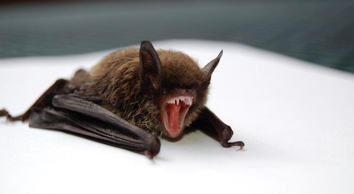 Public Health Department Seeks Individual Exposed to Rabid Bat title=