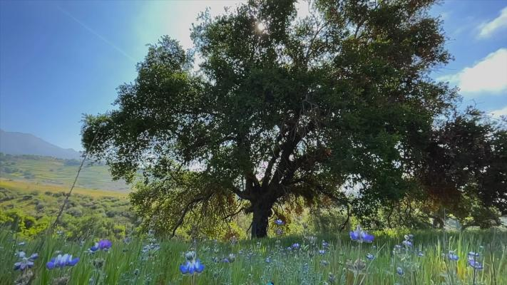 Oak Surrounded by Flowers at San Marcos Foothills Preserve title=