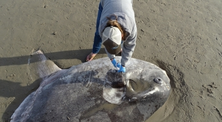 Local Scientists Continue Studying Rare Hoodwinker Sunfish