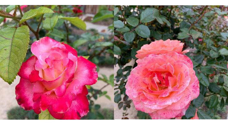 Beautiful Roses in Valle Verde Garden title=
