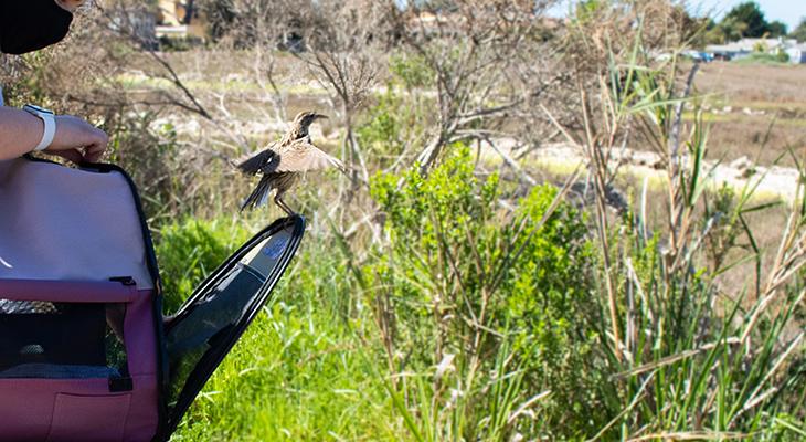 Western Meadowlark: SB Wildlife Care Network's Patient of the Week