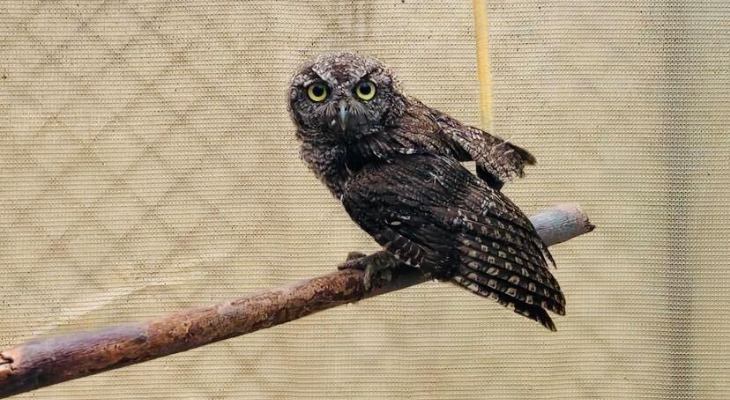 Western Screech Owl: SB Wildlife Care Network's Patient of the Week