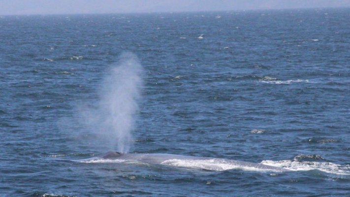 Blue Whales Off the Coast title=