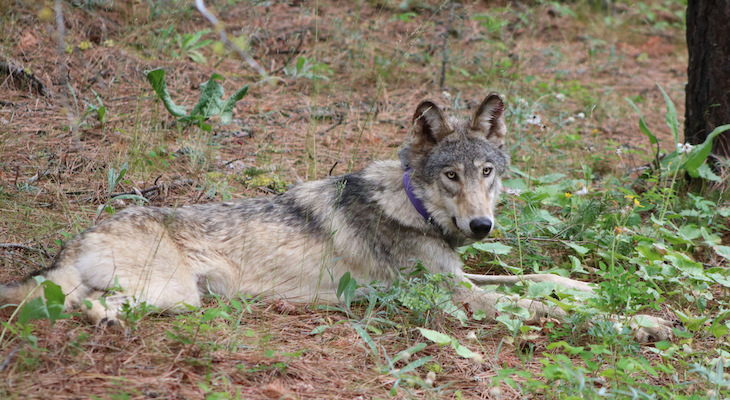 California's Central Coast Welcomes First Gray Wolf in More Than 100 Years title=