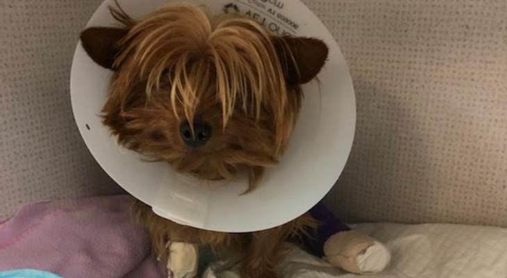 The Saga of Chloe the Yorkie, Suddenly Lost and Quickly Adopted title=
