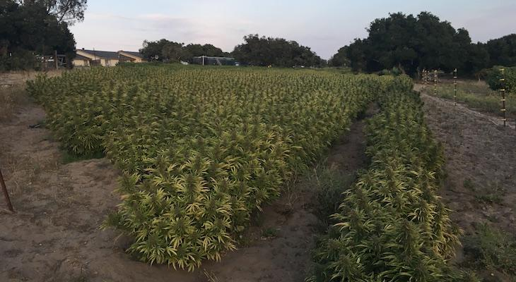 Buellton Asks County to Regulate Cannabis in Santa Ynez Valley