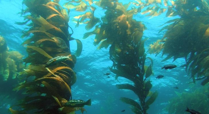 The Effects of Giant Kelp