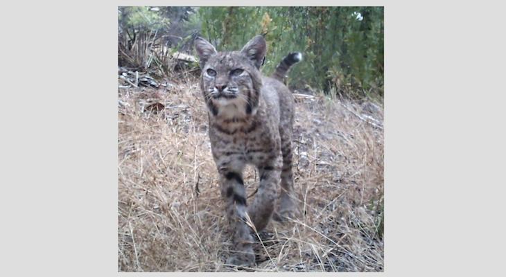 Bobcat at Hendry's