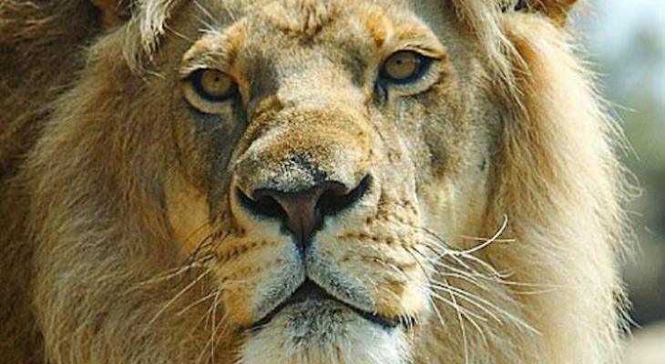 Santa Barbara Zoo Lion Passes at 21