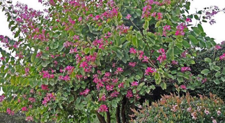 Trees of the Month: Marina Strawberry & Hong Kong Orchid