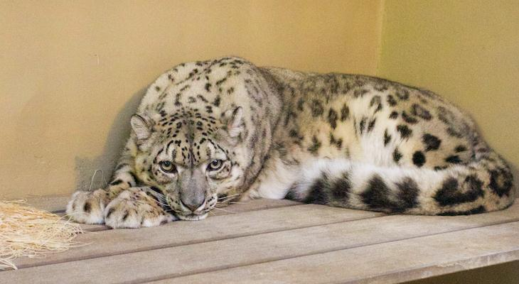 New Snow Leopard and Reindeer Arrive at Zoo