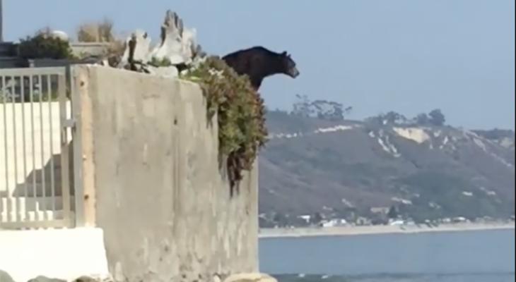 Black Bear Euthanized After Seen on Rincon Beach
