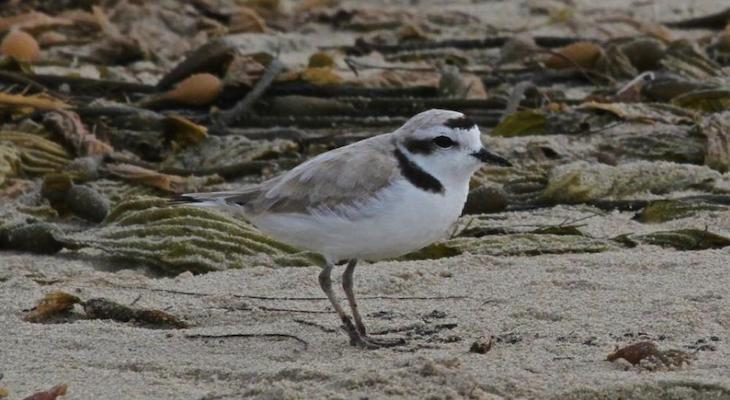 Protecting Snowy Plovers